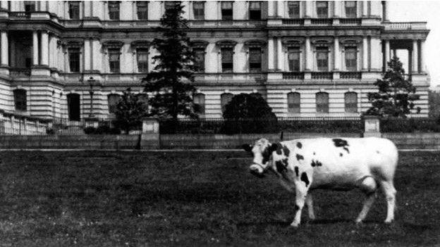 la vaca pauline wayne