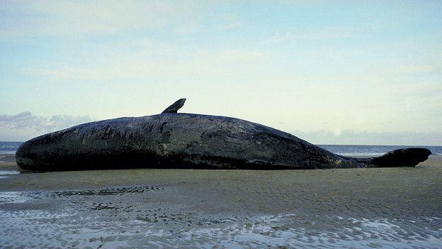 Cachalote muerto en la playa