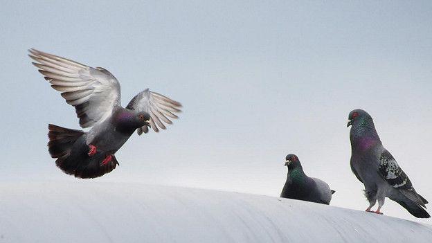 молодые голубки развлекаются