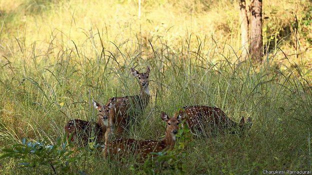 Олени-читалы в заповеднике Канха в Индии