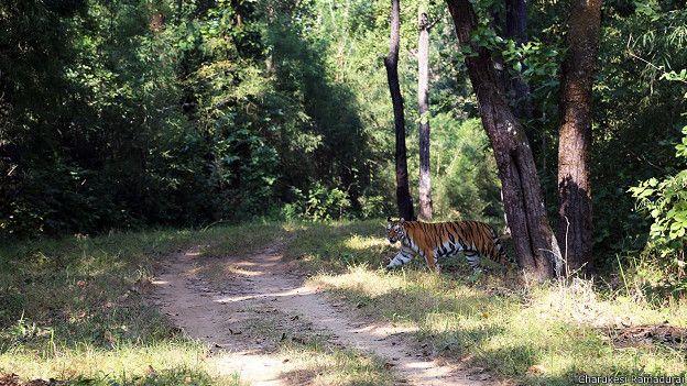 Тигр в заповеднике Канха