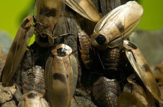151103173544_roach5 Como as baratas podem ajudar a salvar vidas humanas Curiosidades
