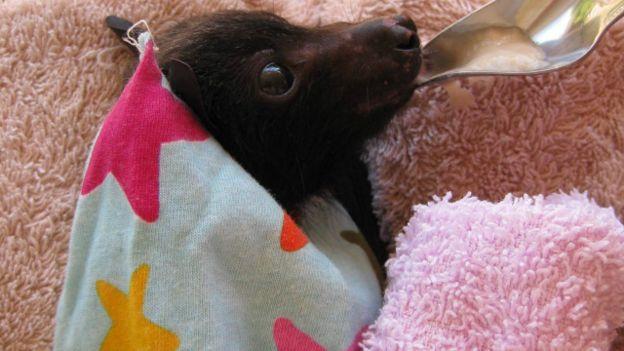 В Австралії через Facebook закликають полюбити кажанів