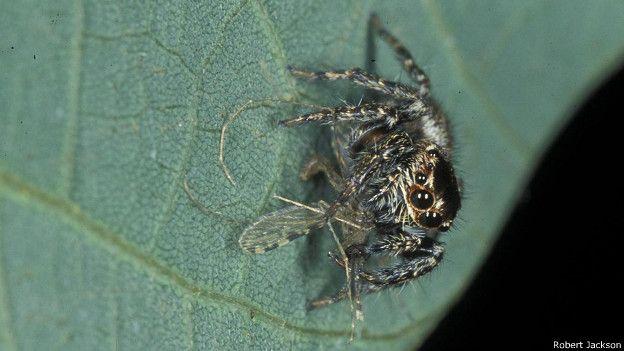 Araña saltadora keniata