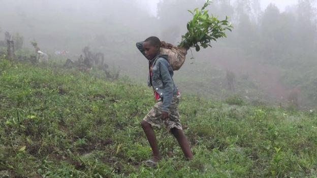 Niño trabaja en plantación de té de la Iglesia en Kabale, Uganda.