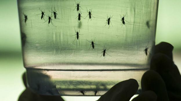 Mosquitos Aedes aegypti sendo analisados no Instituto de Ciências Biomédicas da USP em 8 de janeiro (AFP)