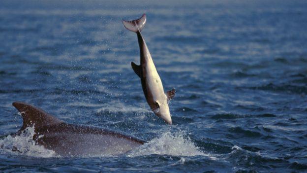 الدلافين اللطيفة تَقتل سراً وتتحرش جنسيا بالإناث 160210180359_cuddly_