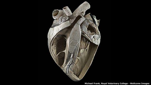 Corazón de vaca, de Michael Frank, Real Colegio de Veterinaria