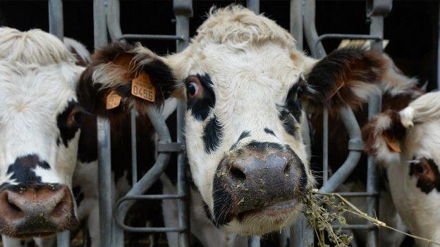 Vacas comiendo alfalfa