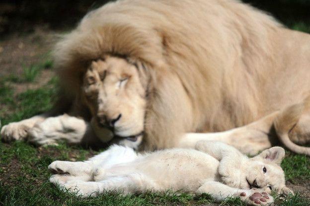 Un león y un cachorro de león durmiendo