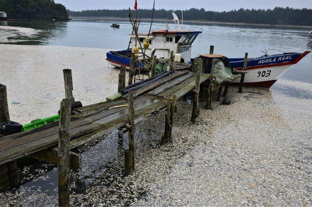 ¿Por qué hay miles de sardinas muertas varadas al sur de Chile?