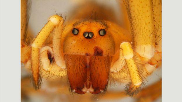 Araña de rincón
