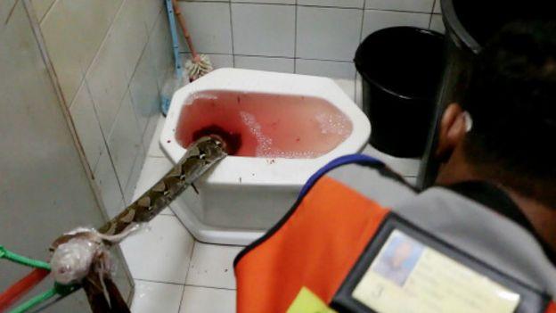 Le serpent a suivi son chemin vers les toilettes à travers la plomberie