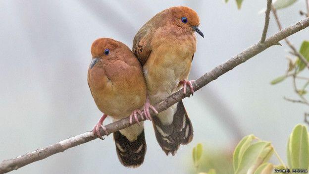 Dos aves de la especie Columbina cyanopis