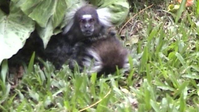 Sagui conforta parceira à beira da morte em floresta brasileira | Crédito: Bruna Bezerra, Universidade de Bristol
