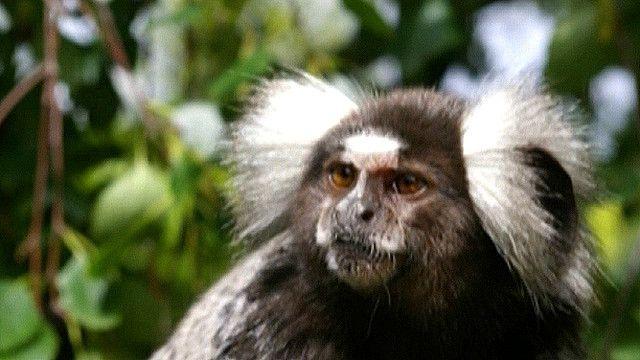 Mono tití común
