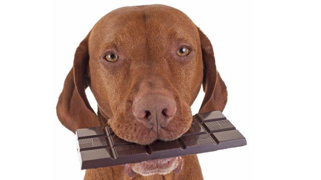 Perro con barra de chocolate