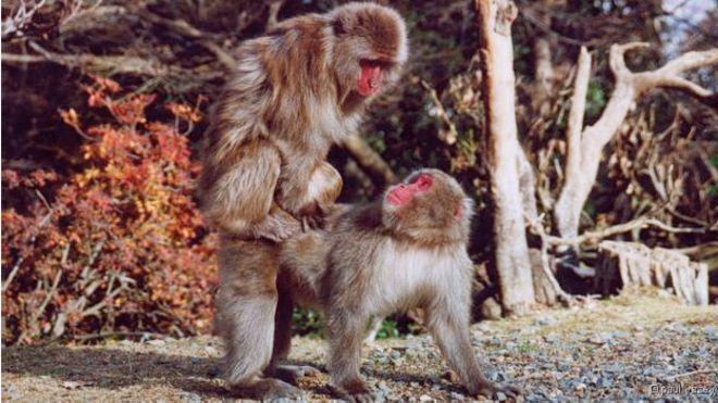 Fêmeas de macaco-japonês