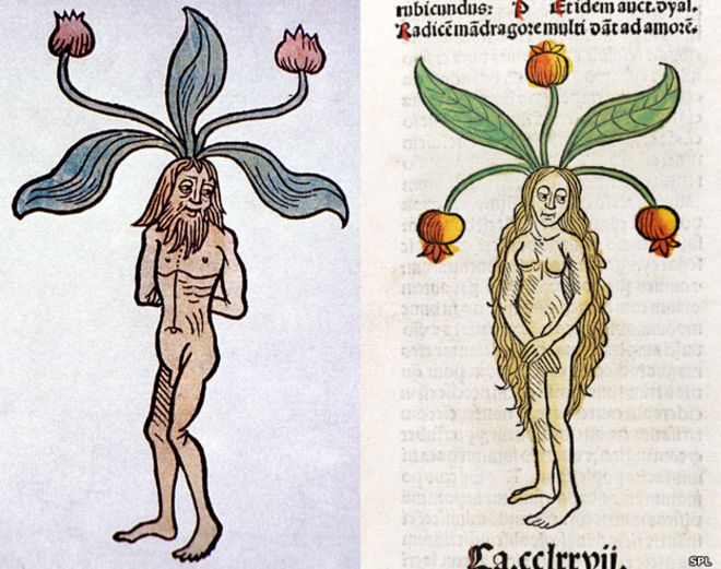 La mandr�gora: la manzana de sat�n que cura y mata