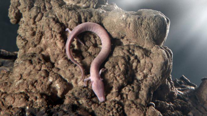 El olm, o proteo, nada como una anguila y puede estar 10 años sin comida.Foto Dragan Arrigler