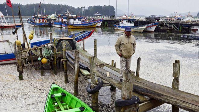 Sardinas en el río Queule, Chile