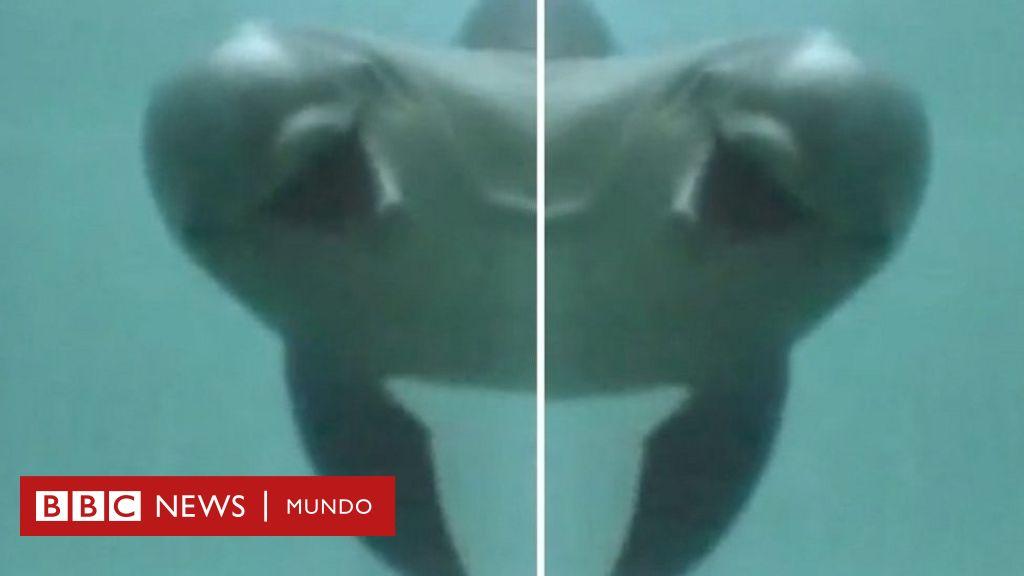 C mo reaccionan los delfines cuando se reconocen en un - Como se hacen los espejos ...