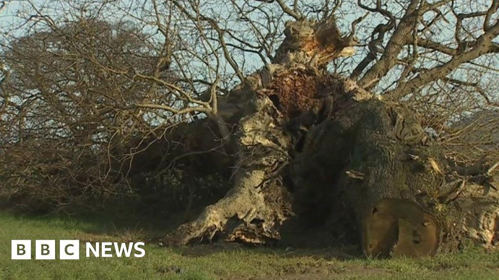1,000-year-old Buttington Oak on Offa's Dyke falls