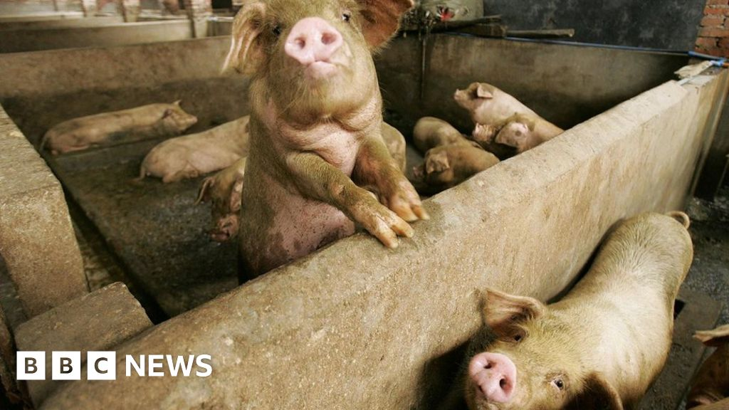 AI does grunt work on China's pig farms