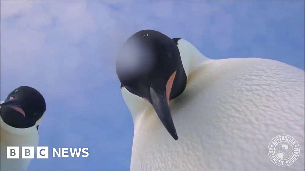 Curious Emperor penguins take a selfie video in Antarctica