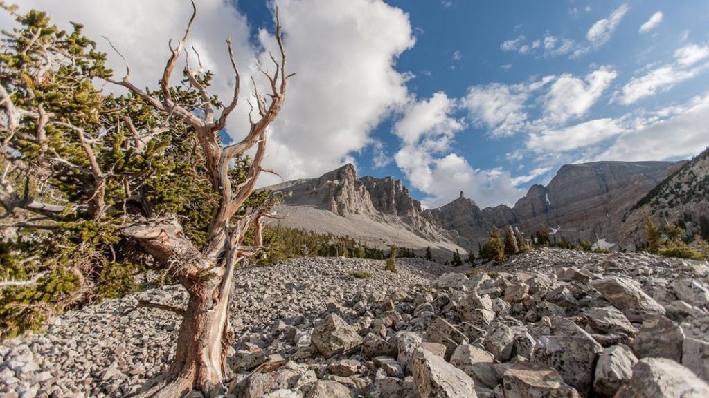 The oldest living thing on Earth - BBC News