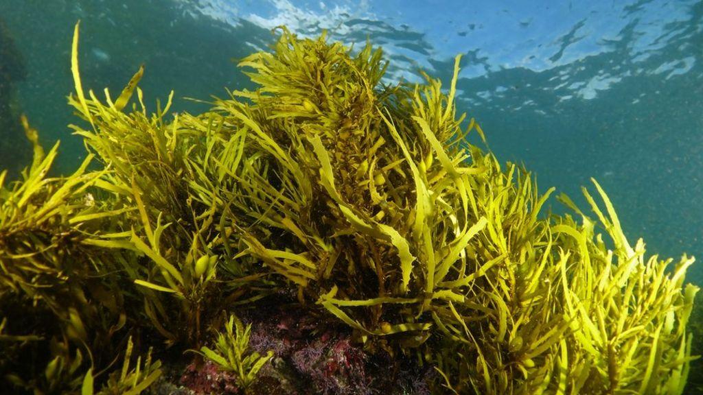 'Underwater Christmas Trees' Help Restore Key Habitat