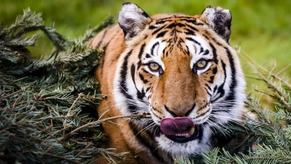 Tiger numbers show increase for first time in a century - Show me a picture of the tiger ...