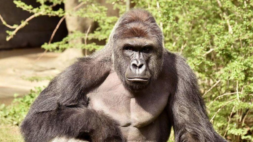 _92847058_c3c1256f 1f69 45fe ade5 a1822e3d9b9c how a dead gorilla became the meme of 2016 bbc news,Dead Monkey Meme