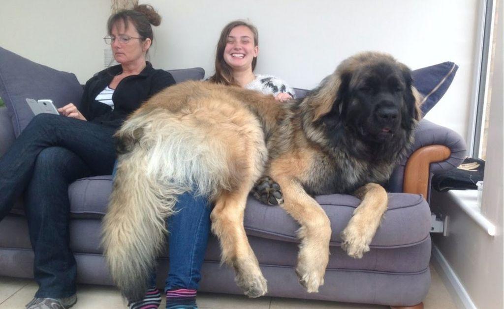 Buy Newfoundland Dog Uk