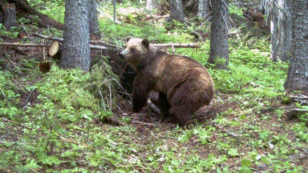Yellowstone Park Kills Grizzly Bear That Ate Hiker BBC News - Guy captures first person video of the moment a bear attacks him