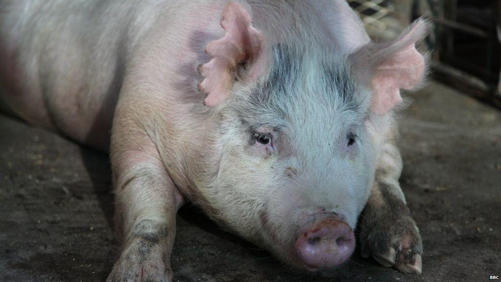 Human Pig Chimera Nature
