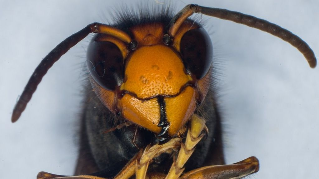 Pitcher plant in France eats bee-killing Asian hornets ...