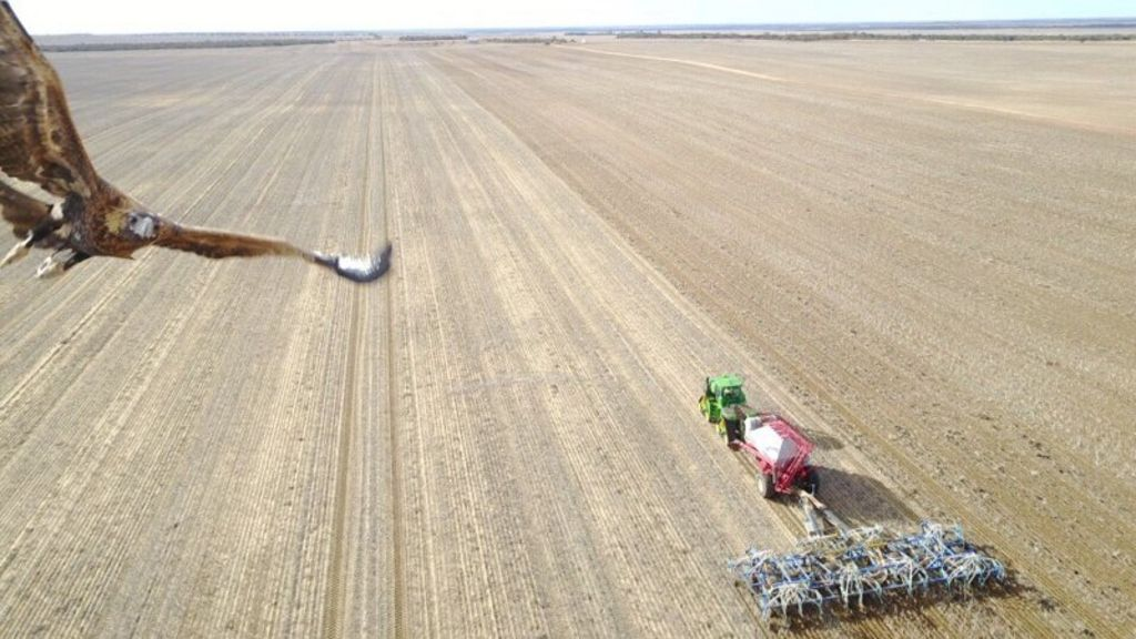 Wedge-tailed Eagle Captured Swooping on Drone