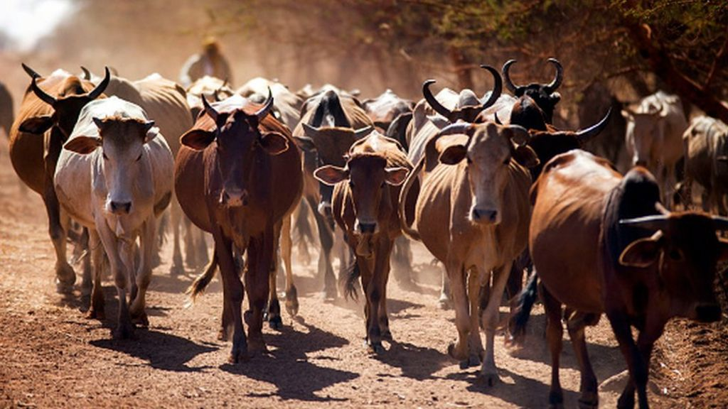 96775522 cattle2