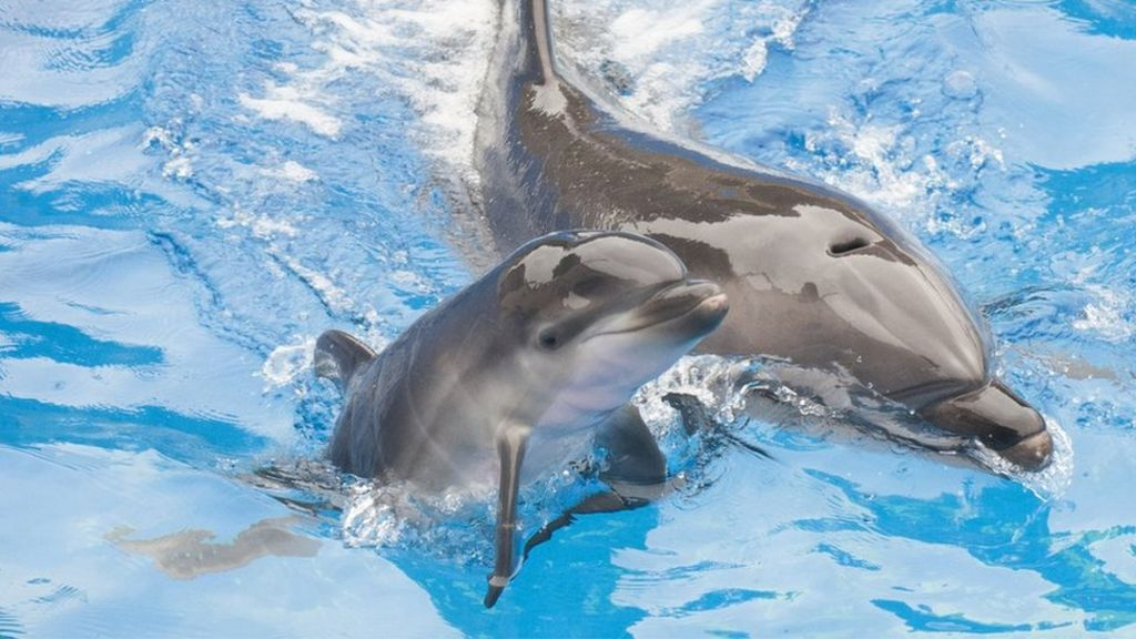 France Bans Captive Breeding Of Dolphins And Killer Whales – BBC News