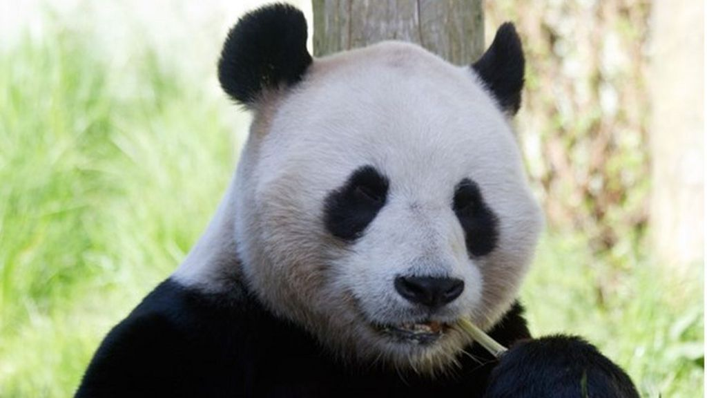 Edinburgh Zoo panda 'not giving birth' imminently