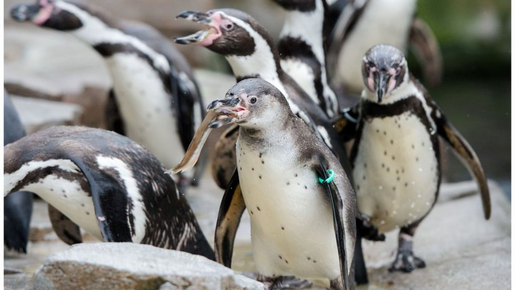 Chile rejects iron mine to protect penguins