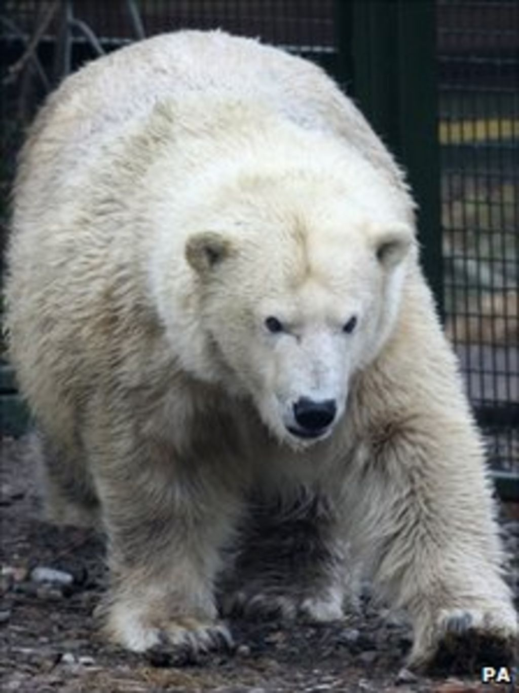 Polar bear mercedes 39 s health 39 failing 39 bbc news for Mercedes benz bear