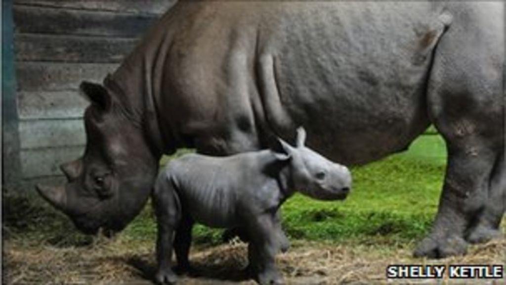 Black Rhino Threat Poachers Target Kent Wildlife Parks