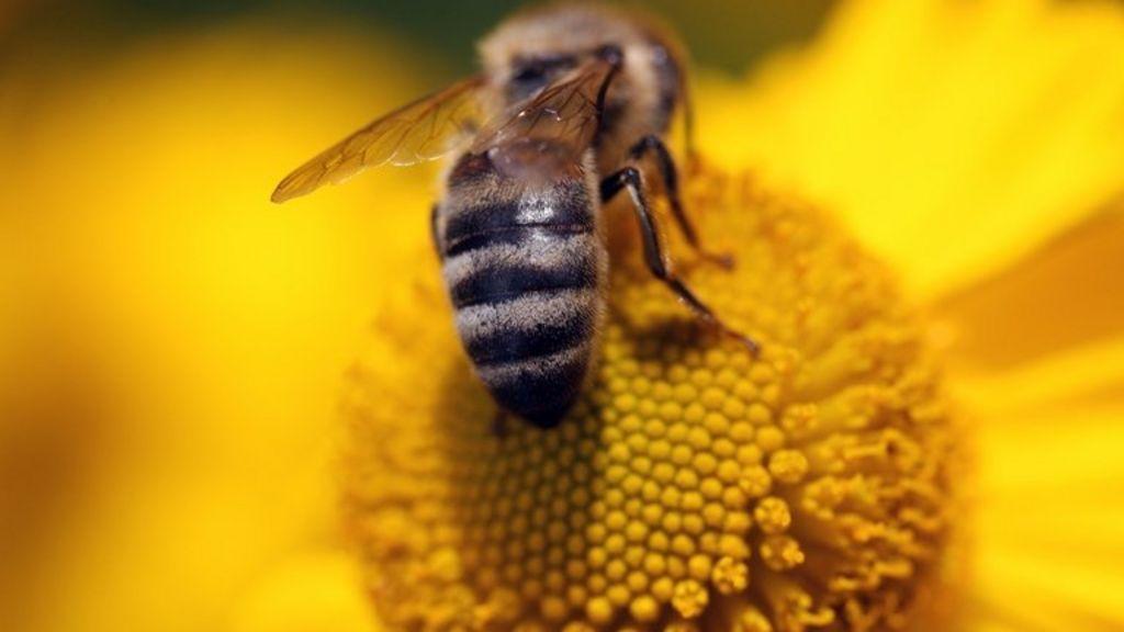 First Scottish bee health survey gets under way - BBC News