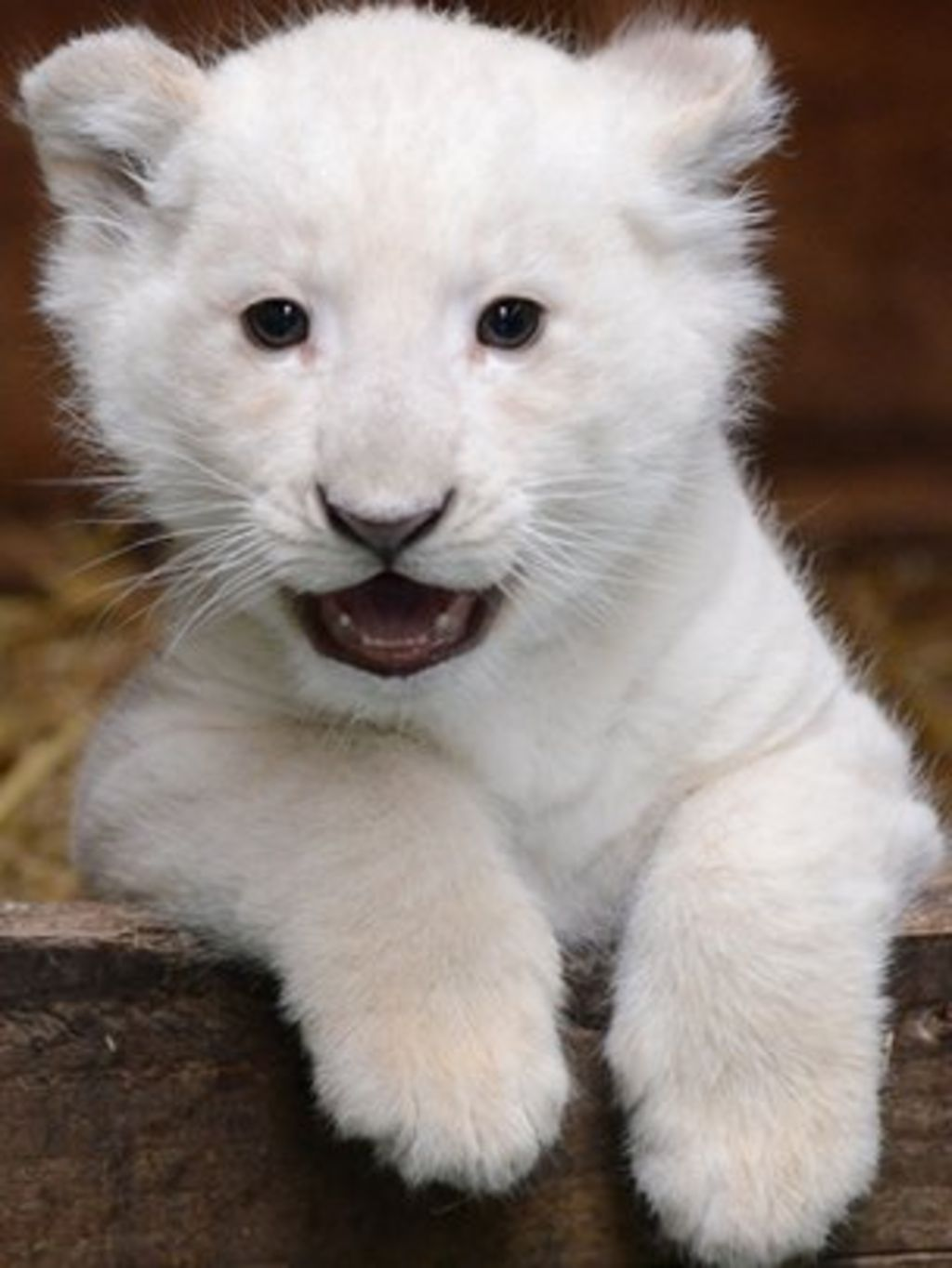 rare white lion cub appears at hertfordshire wildlife park bbc news. Black Bedroom Furniture Sets. Home Design Ideas