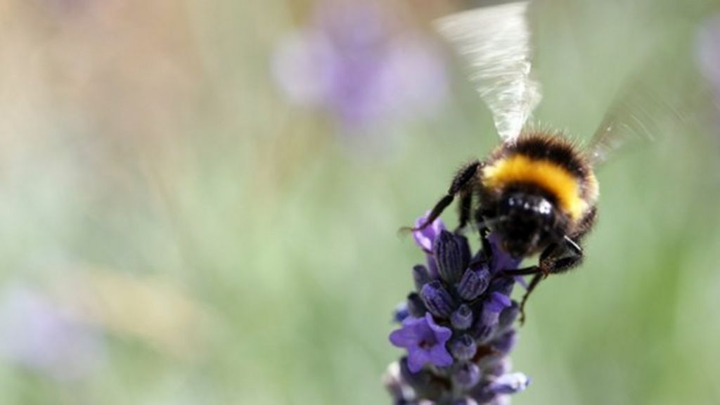 Imported bumblebees pose 'parasite threat' to native bees ...