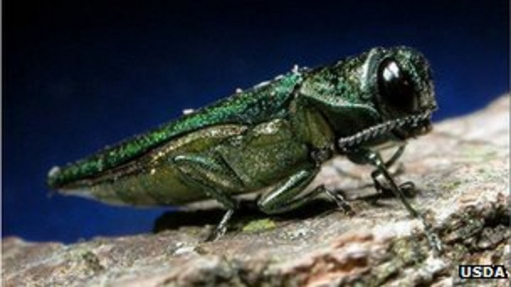 Ash trees also face insect threat