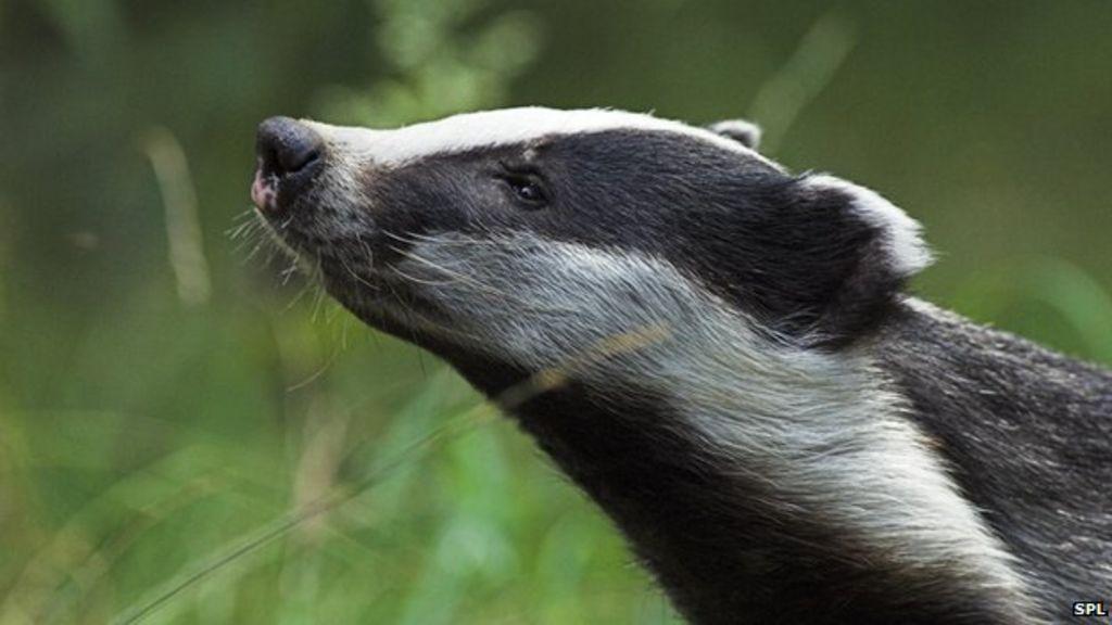 Badger cull extended as kills fall short of target - BBC News