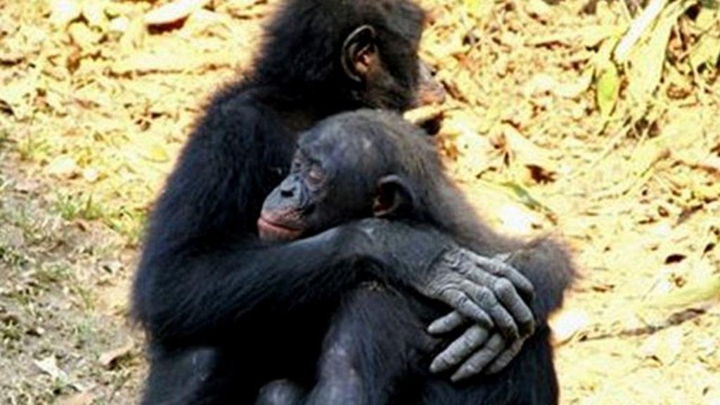 Apes Comfort Each Other  U0026 39 Like Humans U0026 39